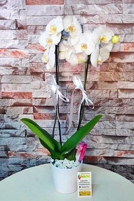 Çift Dal Beyaz Orkide, Manisa Çiçek