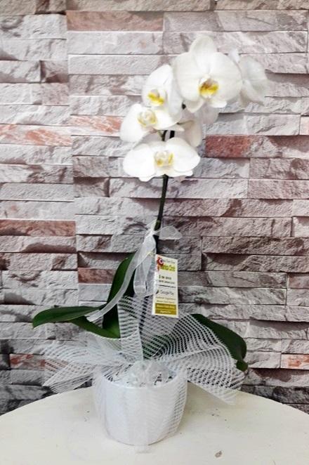 Tekli Orkide Phelanopsis