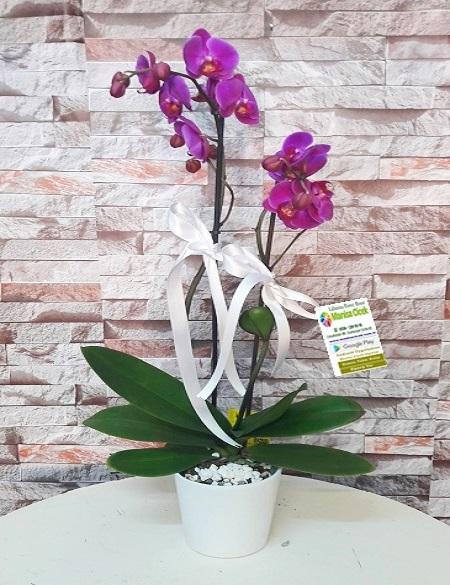 Ýki Dal Mor Orkide