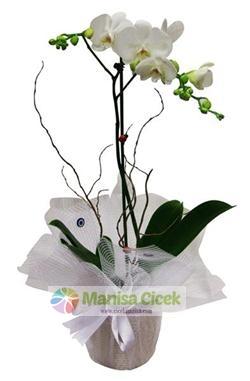 Orkide,Manisa Çiçek
