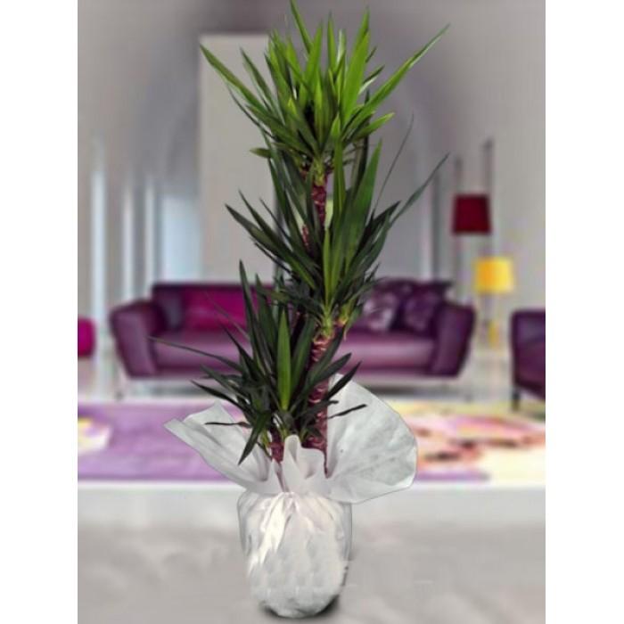 Yukka üçlü saksý çiçegi